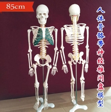 wholesale Human medicine with spinal nerve disc model 85cm Can be active teaching medical body mannequin 1PC Halloween C007 недорого