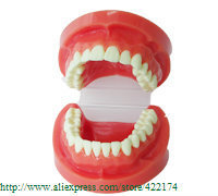 Free Shipping Natural size model study dental tooth teeth dentist dentistry anatomical anatomy model odontologia