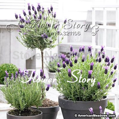 400 French Lavender Anouk Seeds Drought Tolerant