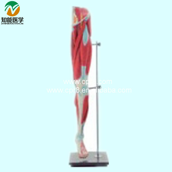 Lower limb Muscle Anatomy Model BIX-A1038 WBW050 bix a1042 anatomy of the head cerebral artery model wbw299
