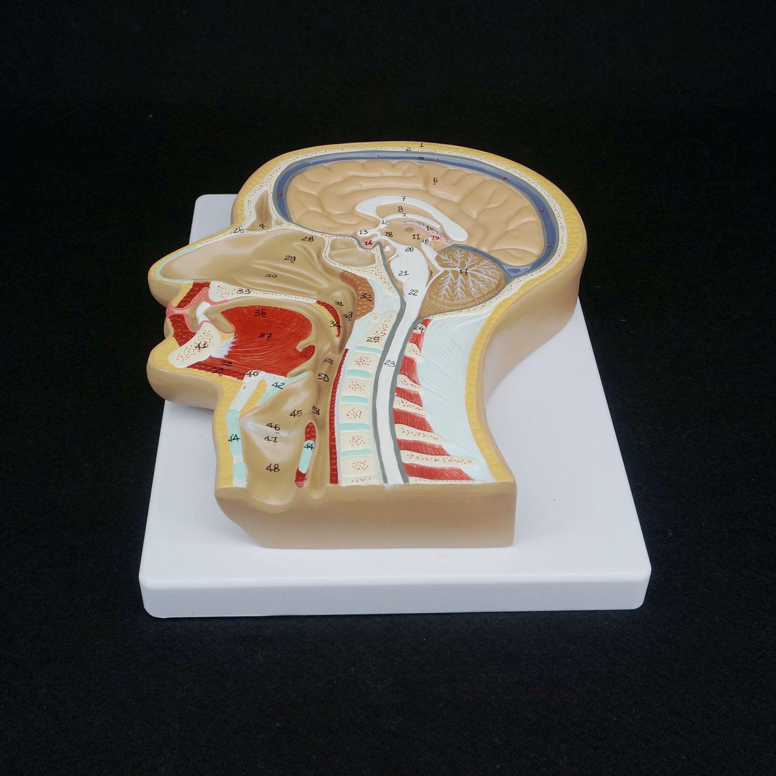 Menschlichen Median Abschnitt von Kopf Anatomisches Modell ...