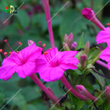 purple Flower Mirabilis jalapa horn flower , Original Package Garden bonsai Flower for plant, Easy Grow 20pcs/bag цена и фото