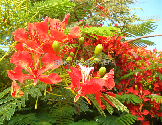 literature review on delonix regia