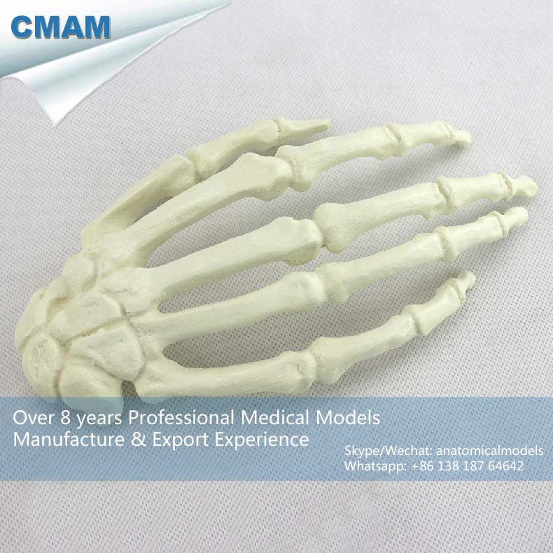 No. 12324 , Human Hand Bone, Model of Orthopedics Implantation Practice, CMAM china medical anatomical models no 12314 hip and femur bone model of orthopedics implantation practice cmam china medical anatomical models