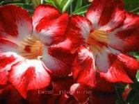 100 Genuine Redmoonlight Adenium Obesum Seeds 100 SEEDS Bonsai Desert Rose Flower Plant Seeds