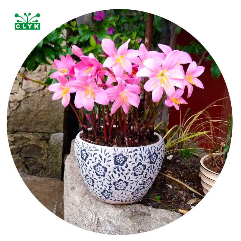 Balcony Indoor outdoor perennial pink Flower bonsai Plant onion Orchid DIY garden decoration plants flower bulbs planting 2pcs
