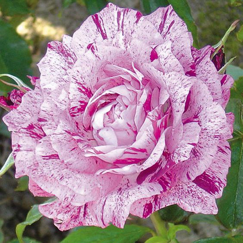 Pink And Blood Red Roses Mixed Seeds Of Rare Flowers Scarce Balcony Patio Garden