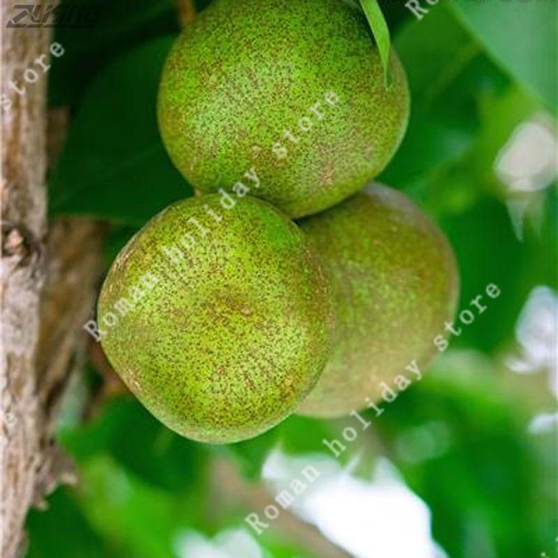Bonsai Zlking 50 Pcs Organic Chinese Yellow Pear Bonsai Natural High Germination Rate Non-gmo Sweet And Juicy Fruit Trees Bonsai Garden Pots & Planters