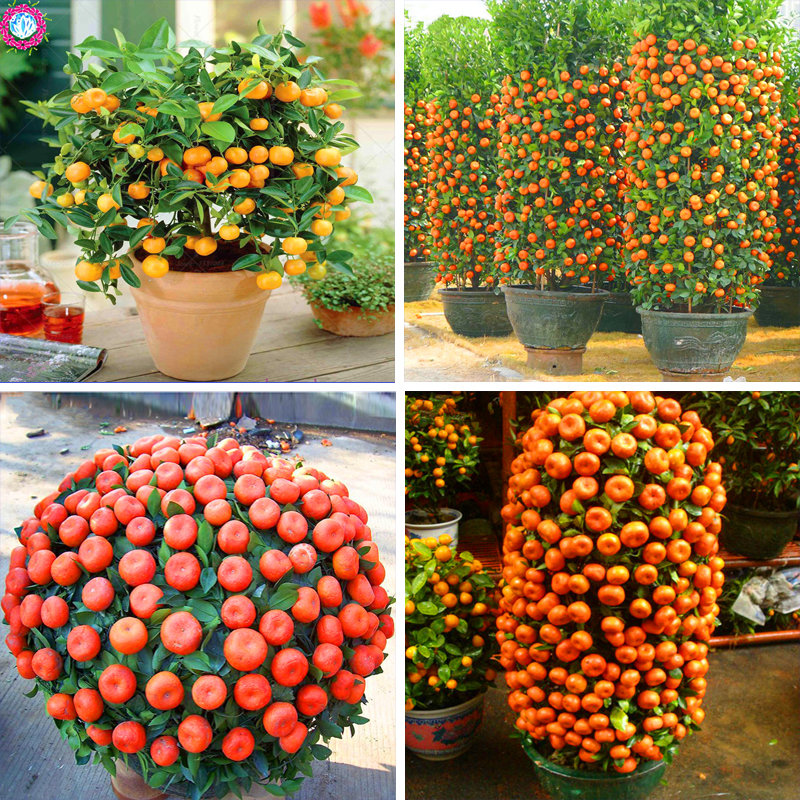 40pcs/bag orange seeds climbing orange tree seed bonsai Organic fruit seeds Like a Christmas tree pot for home garden plant ...