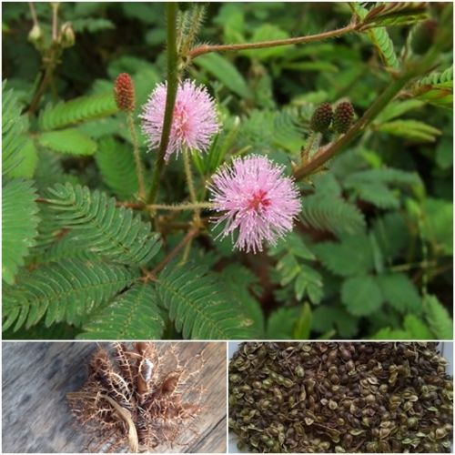 bonsai flower seeds called mimosa silk tree seeds for flower potted plants free shipping ornamental - Silk Trees