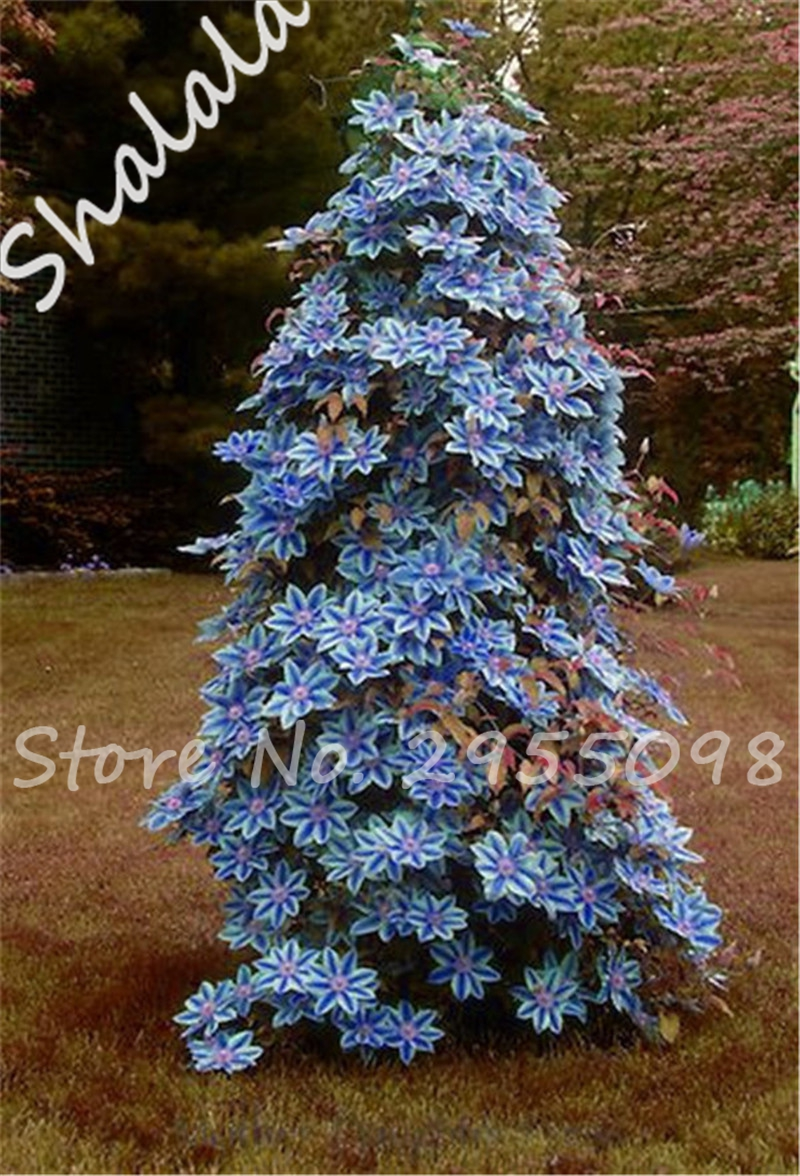 Buy Blue Sky Vine Plant And Get Free Shipping On Aliexpress