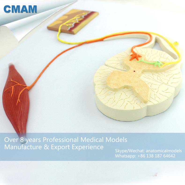 CMAM-NERVE01 Professional Medical Anatomy Neural Conduction Model neural networks for vision