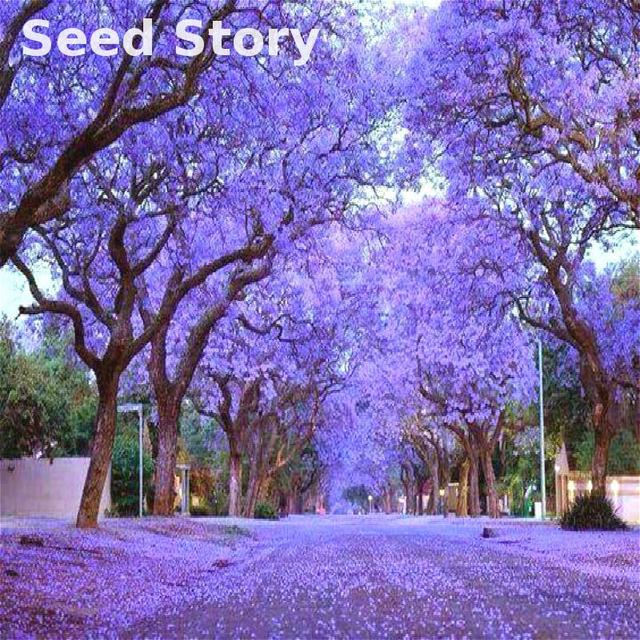 100pcs paulownia tomentosa seeds princess tree seeds unique species 100pcs paulownia tomentosa seeds princess tree seeds unique species plants purple flowers home garden bonsai free mightylinksfo