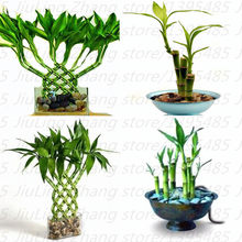 Popular Potting Bamboo Plant-Buy Cheap Potting Bamboo Plant