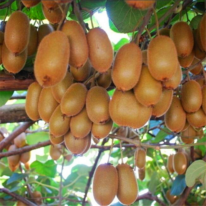 aliexpress  buy thailand kiwi tree seeds mini fruit bonsai, Beautiful flower