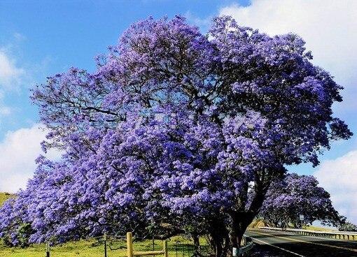 500 pz/borsa bonsai paulonia, Reale Empress Albero (Paulownia tomentosa), ourdoo