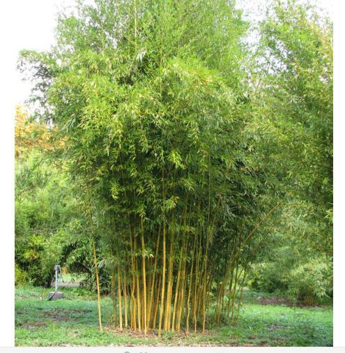Potted plant seeds Bonsai 50 seeds bamboo seeds Home Garden Plant ...