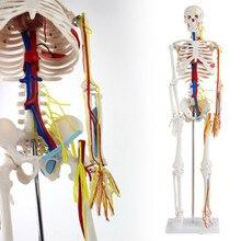 ISO сочлененный Скелет с имитацией нервов, кровеносных сосудов и сердца, скелет 85-см