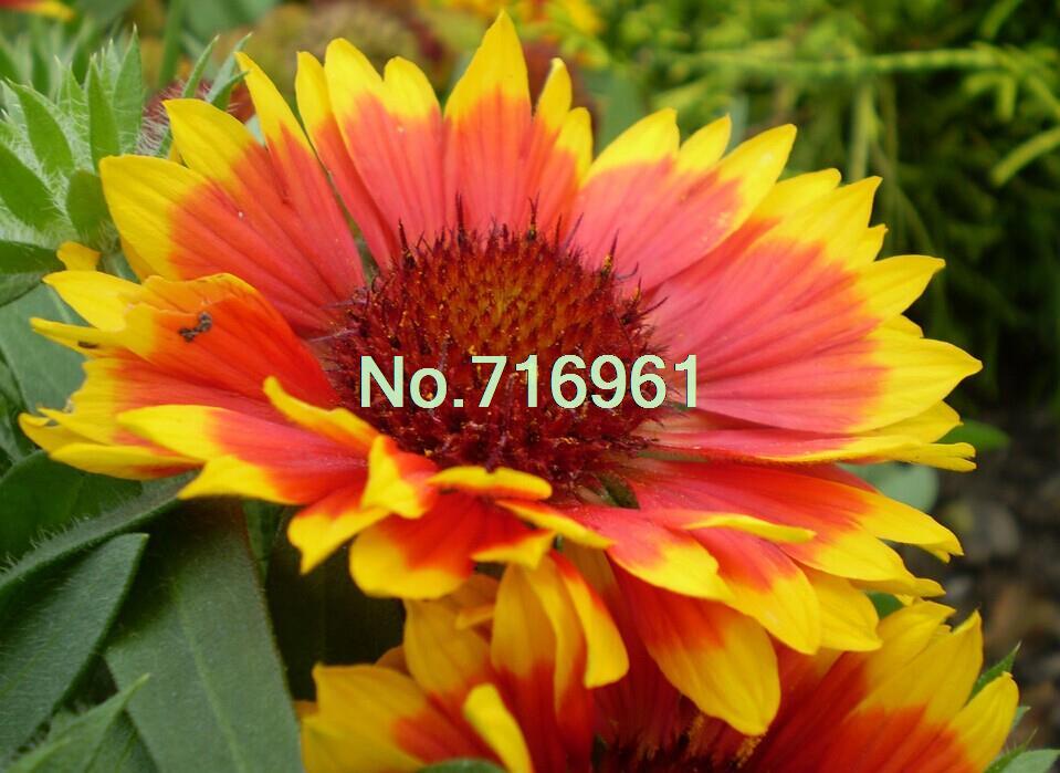 Gaillardia, Blanket Flower, Indian Blanket, Flower Seeds, Perennial, Attract Butterflies, 100 Seeds