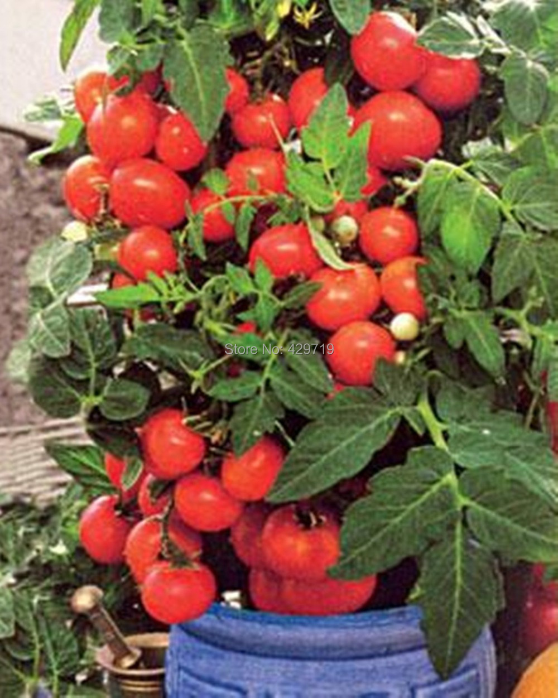 Compra mini planta online al por mayor de china - Tomates cherry en maceta ...