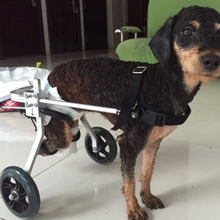 The cat and dog dog wheelchair paralyzed scooter car hind leg disabled dog assisted Cat Dog Car rehabilitation wheelchair