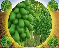 Rare Giant Papaya Seeds, 20pcs/pack