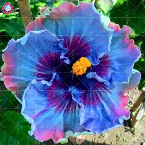 Detail Feedback Questions About 100pcspack Hibiscus Bonsai Tree