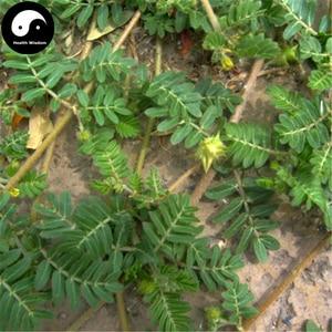 Buy Tribulus Terrestris Semente 200pcs Plant Herba Tribuli For Bai Ji Li