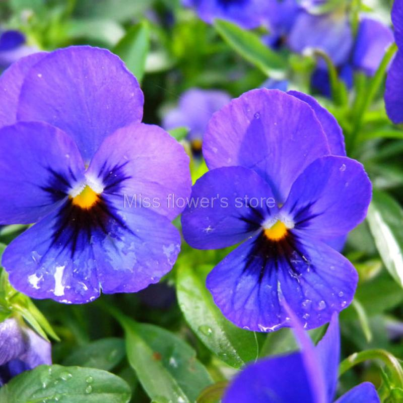 5 Pack 150 Seed Small Blue Flower Pansy Seeds Viola Tricolor Flower     Herb perennial  often annual and biennial plant Blossom early and long  flowering period 15cm hight Flowers small but dense  Flowers upright blue  colour