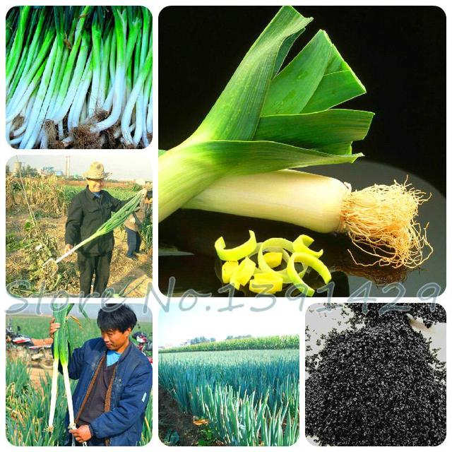 100 Pcs / Bag Sterilization Vegetable Seeds Giant Garlic China Green Onion Tasty Leek Seeds Big Potted Onion Garden Bonsai Plant