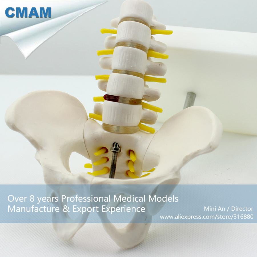 12343 CMAM-PELVIS06 Mini Plastic Pelvis on Stand w 5pcs Lumbar Vertebrae,Medical Science Educational Teaching Anatomical Models 12384 cmam vertebra01 human lumbar vertebrae w sacrum