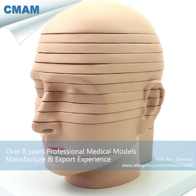 12398 CMAM-BRAIN01 Human Head Horizontal Section Anatomical Model vivid anatomical skin block model enlarged skin section model human skin model