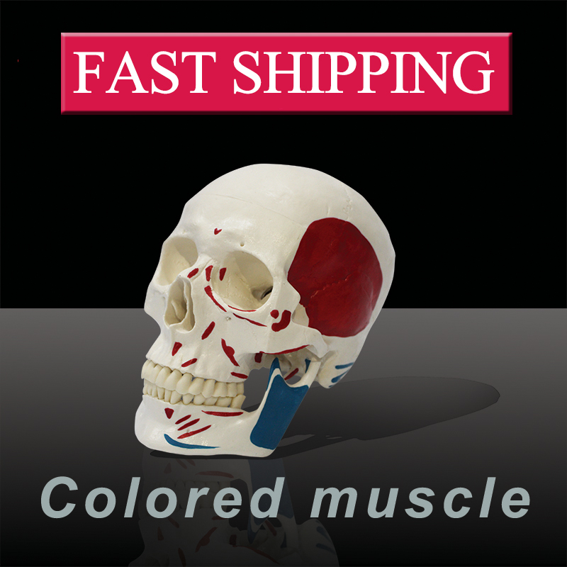 Medical science colored muscle origins and insertions  in half head life size plastic skull model handbooks in operations research and management science simulation 13