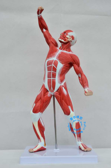 aliexpress : buy free shipping&art medical, 50cm human muscle, Muscles