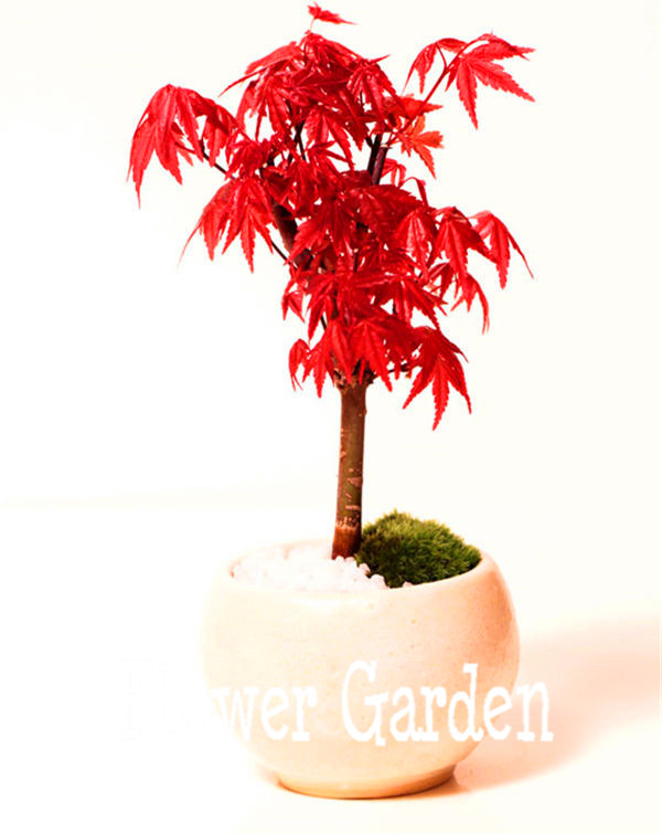 20 canada Mini Red Maple Bonsai Seeds DIY Bonsai Maple Tree Seeds,#HN8VVD