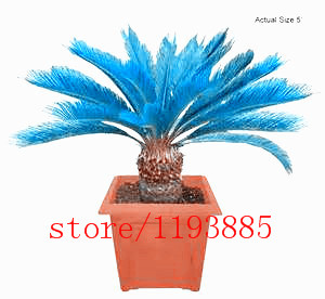100PCS mini blue Sago Cycas Seeds revoluta seeds bonsai tree seeds Potted Flower Seed for DIY Home Garden Household Items