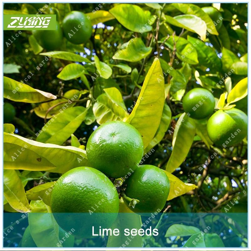 ZLKING 20pcs Wild Orange Seed Fruit Seeds Bonsai Plants Exotic Bonsai Fruit Trees Popular Perennial Plants For Home Garden