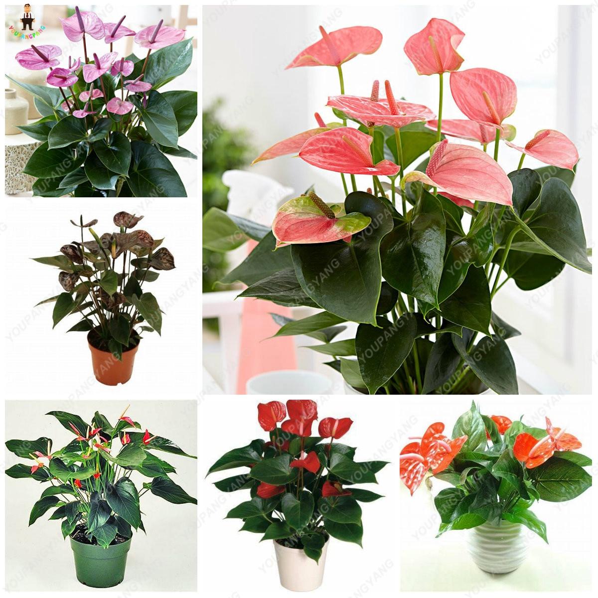 Us 0 88 Hot Sale 50pcs Anthurium Plants Beautiful Rainbow Anthurium Garden Flowers High Survival Rate Bonsai Tree Garden Decoration In Bonsai From