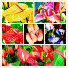 100pcs/bag anthurium seeds perennial bonsai plant flower seeds balcony pot multiple colors to choose for home garden