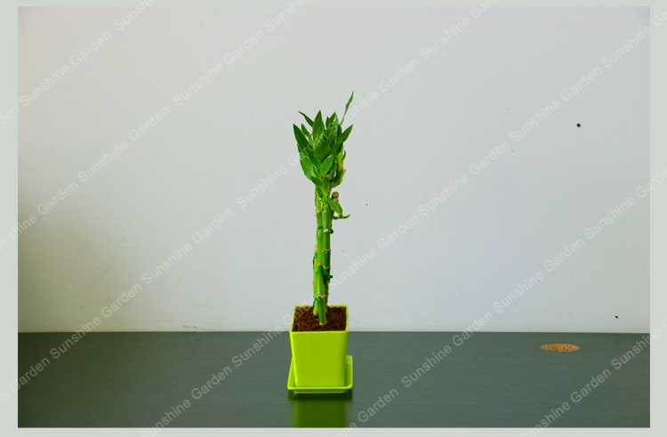 60 قطعة محظوظ الخيزران بونساي تلاوة الخيزران النباتات سهلة زراعة الطبيعية العضوية المعمرة النباتات الخضراء الديكور المنزل والحديقة