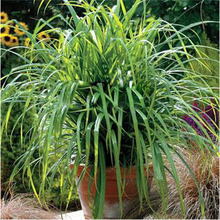 5 шт. импорт американский декоративные травы семена, Многолетнее коричневого цветов, Carex ( Carex маятников свежий взгляд )