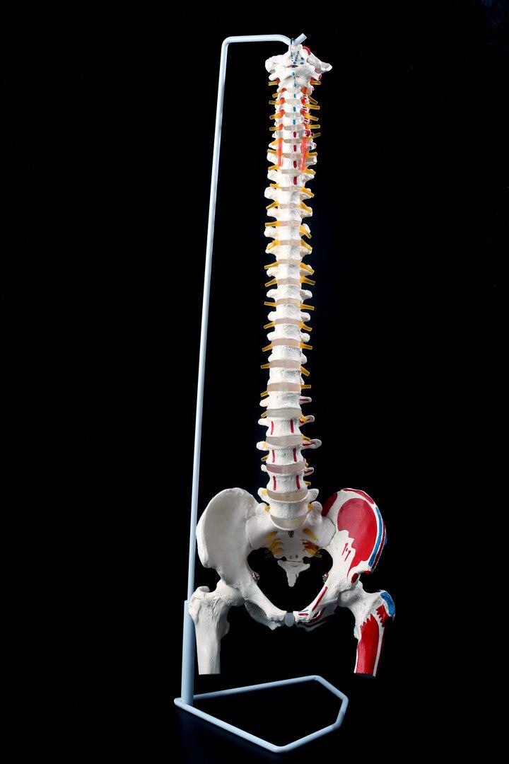 Tienda Online 1: 1 columna vertebral humana modelo de esqueleto con ...