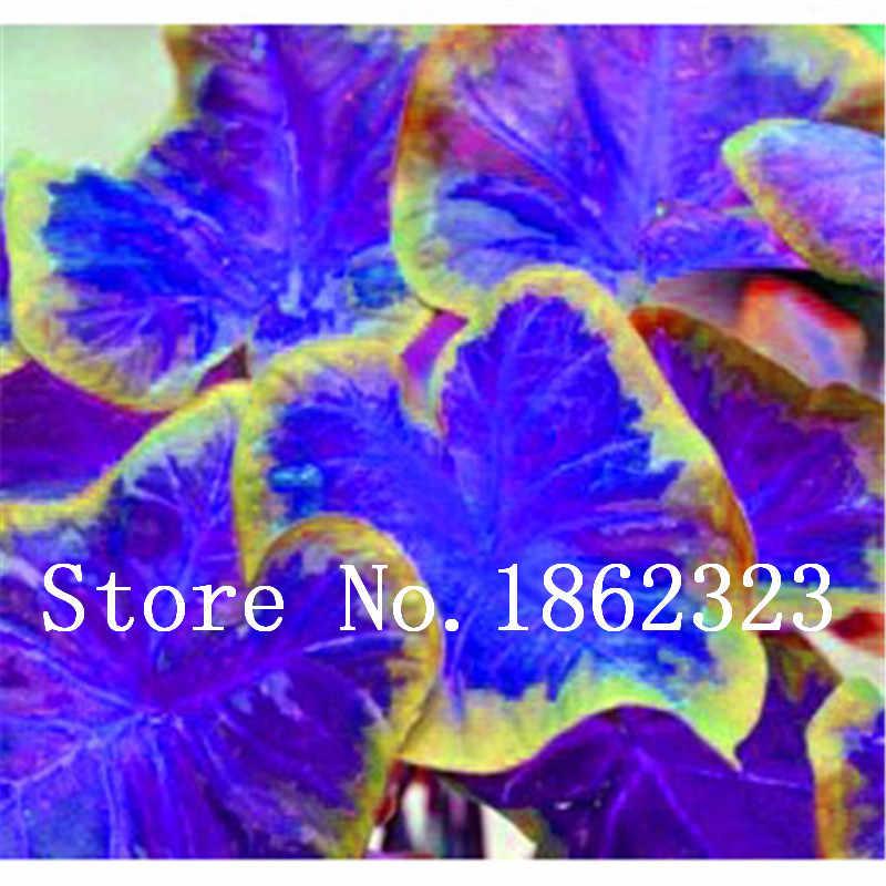 عرض ساخن! 100 قطعة نادرة الملونة Caladium بونساي حرق الورد الفيل الأذن جميلة زهرة بونساي أصائص زرع لحديقة المنزل