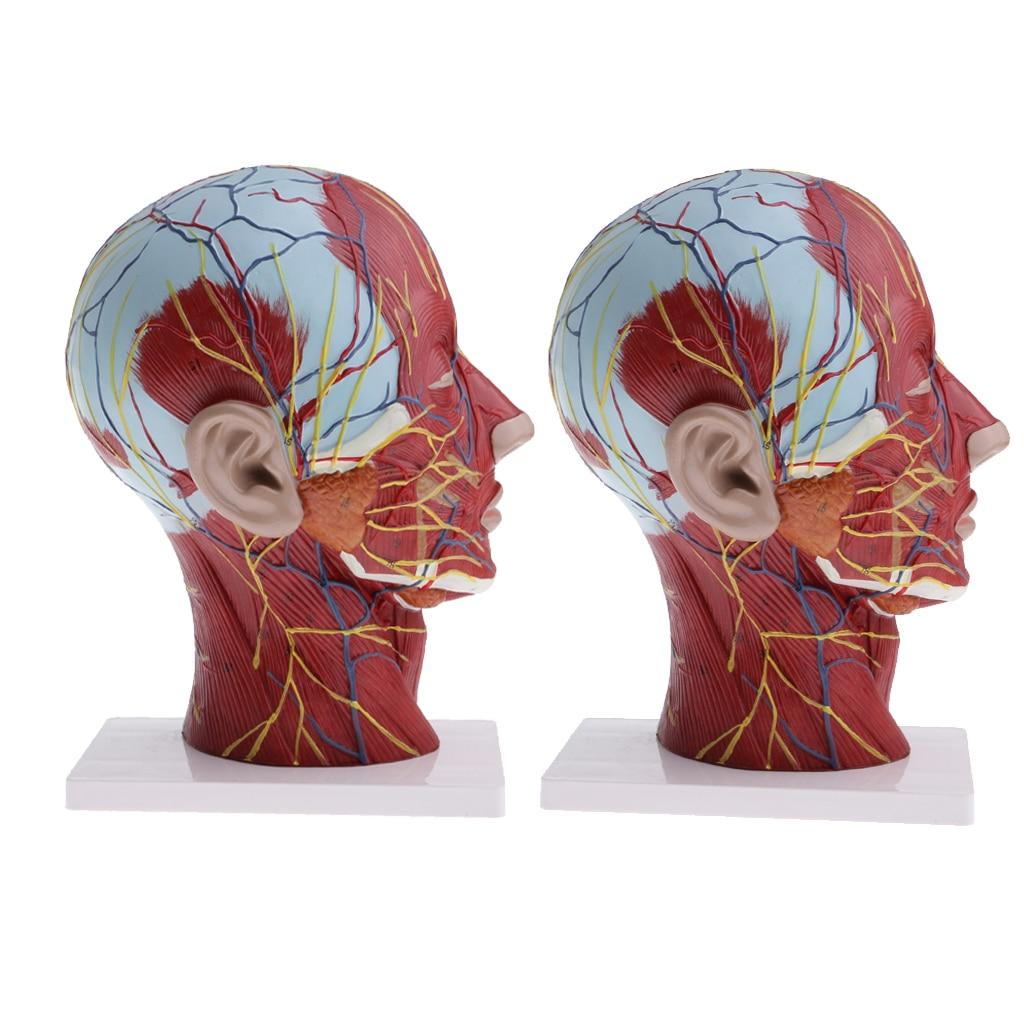 2 ensembles de plan Sagittal de la tête humaine et du cou et modèle de nerf musculaire superficiel, Lifesize, modèle de démonstration en laboratoire