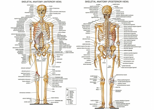 Us 60 13 Offev Ve Bahçeten Resim Ve Hatde Duvar Sanat Resmi Insan Anatomisi Kemik Iskelet Sistemi Posteri Tuval Boyama Baskı Vücut Harita