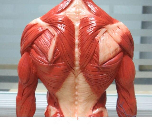 Online-Shop Männlichen 1:6 Anatomie abb v.3 oberflächliche muscle ...