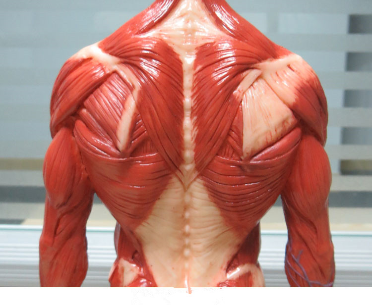 Male 1:6 Anatomy fig v.3 superficial muscle system Human skeleton ...