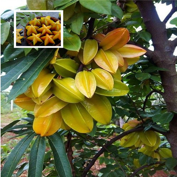 Selling Organic 50 Bonsais Star Fruit Tree Shrub Bonsais Fruit Bonsais Carambola Starfruit Edible Free Shipping