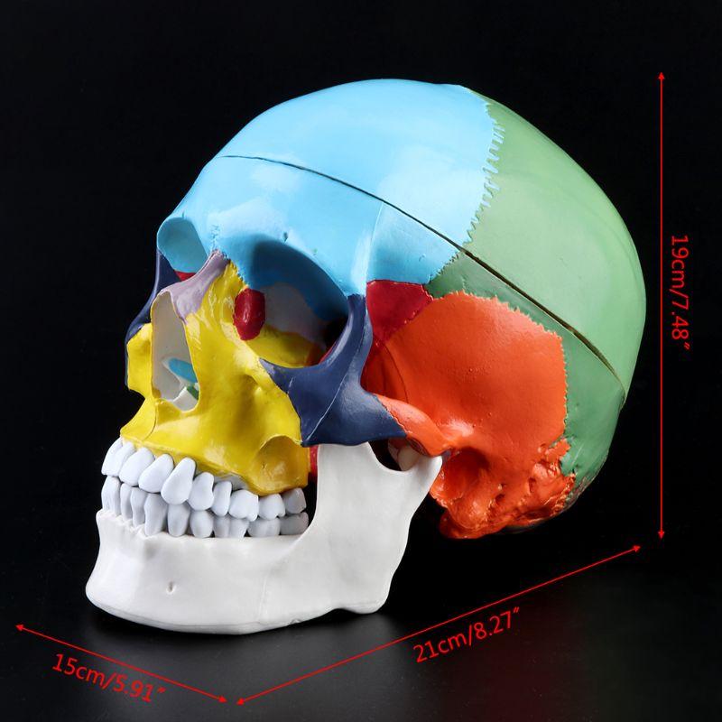 1:1 Scale Colorful Human Skull Skeleton Adult Head Model with Brain Stem Anatomy Medical Teaching Tool Supply 4
