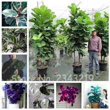 Hot Sale! Garden Beautifying Ficus Religiosa Seeds, Ornamental Plant Banyan Tree Seeds flower pots planters 40 pcs